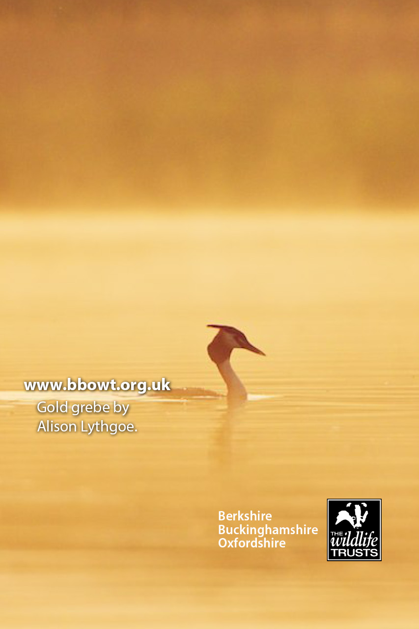 iPhone4 Gold grebe by Alison Lythgoe