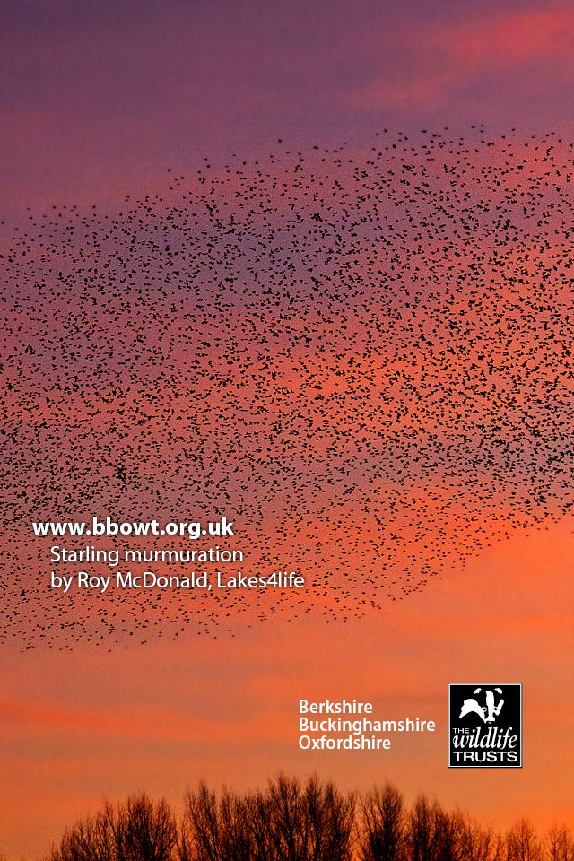 Starling murmuration mobile wallpaper