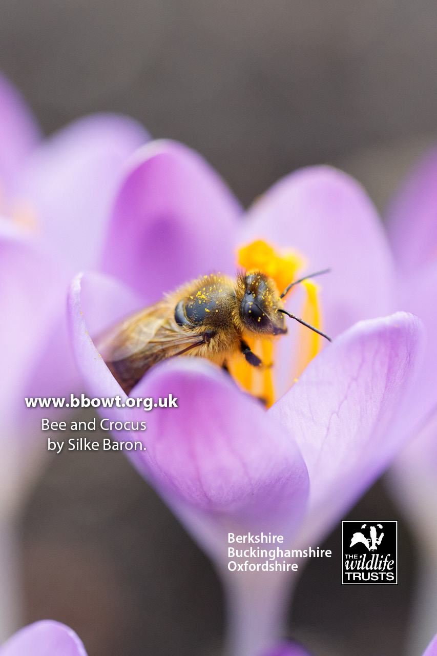 iPhone4 Bee and crocus by Silke Baron
