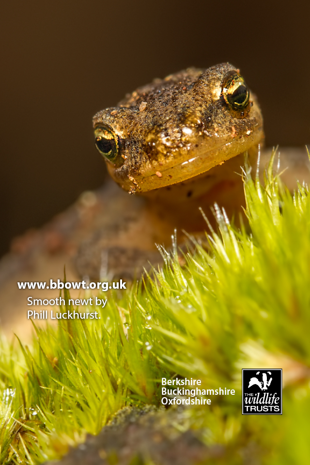 iPhone4 Smooth newt by Phill Luckhurst