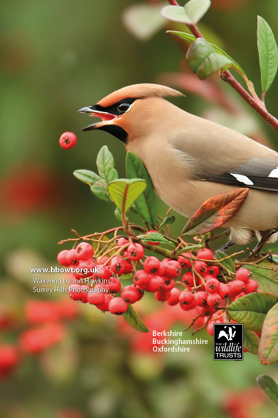 Waxwing mobile wallpaper
