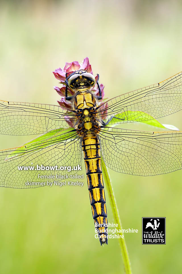 female black-tailed skimmer by Nigel Kiteley