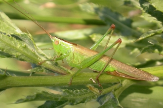Long-winged Conehead