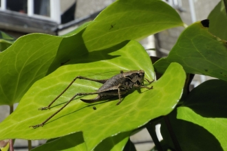 Dark bush-cricket
