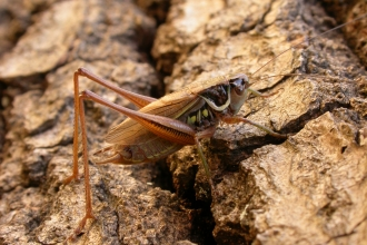 Roesel's Bush-cricket