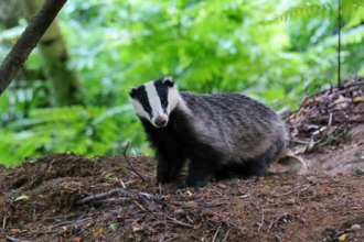 Badger by Rob Appleby