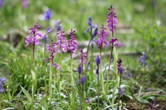 Early purple orchids with bluebells