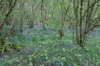 bluebells at little linford wood