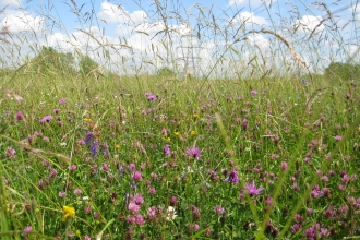 Wild flowers at Chimney Meadows