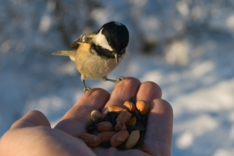 Hand feeding a coal tit