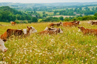 Cattle in wildflower meadow