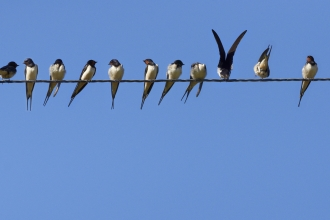 Swallows on a telegraph wire