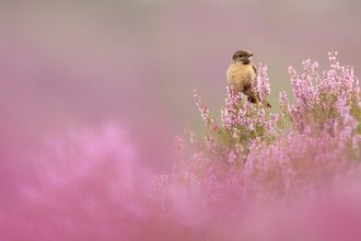 Stonechat perched on flowering heather