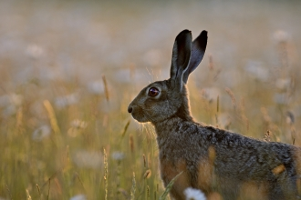 Hare in meadow in evening