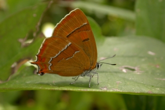 Brown hairstreak butterfly on leaf