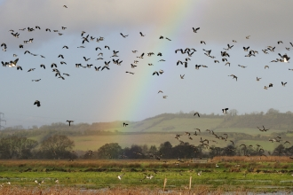 Lapwing and rainbow