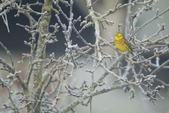 Yellowhammer on frosty branches