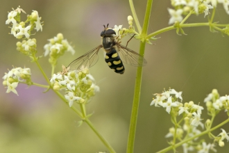Hoverfly by Chris Gomersall/2020VISION