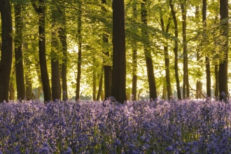 Bluebells in beech woodland