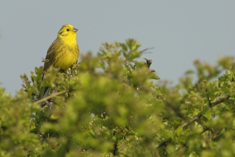 Yellowhammer in hedge