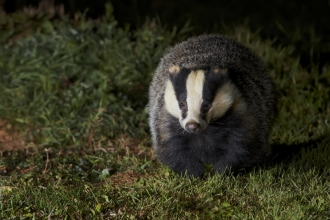 Badger out at night