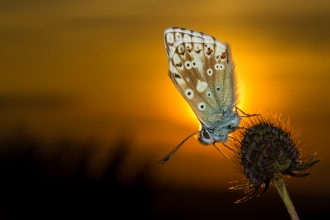 Chalk hill blue butterfly against setting sun