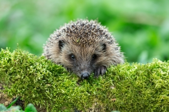 Hedgehog on mossy log