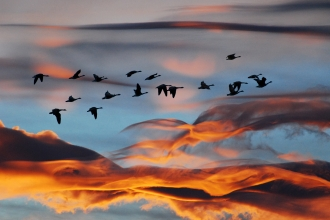 Flock of geese flying against sunset