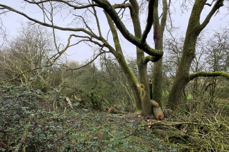 Felled ash by HS2 at Calvert Jubilee