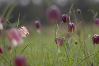 Snake's-head fritillaries at Iffley Meadows