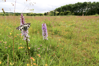 Marbled white and common spotted orchid in wild flower meadow by Tom Marshall