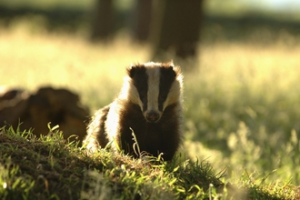 Badger in grassland