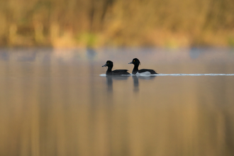 Tufted ducks by Jon Hawkins - Surrey Hills Photography