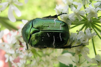 Rosechafer beetle by Andrew Halstead, RHS
