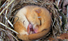 Sleepy dormouse