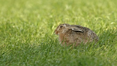 Brown hare sitting