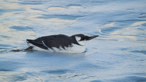 Guillemot (winter-plumage)