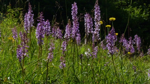 Orchids at Aston Clinton Ragpits by Kate Titford