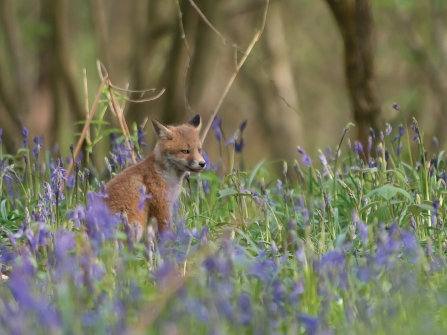 Fox cub in bluebells