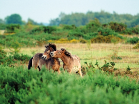 Ponies on Greenham Common