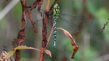 Southern hawker by Brian Walker