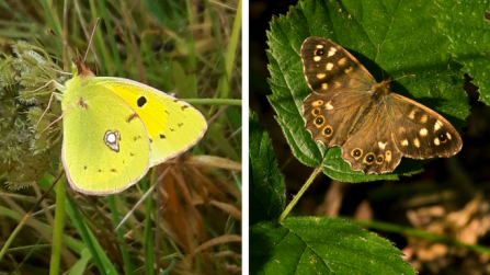 Clouded yellow and speckled wood