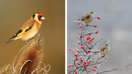 Goldfinch and linnets