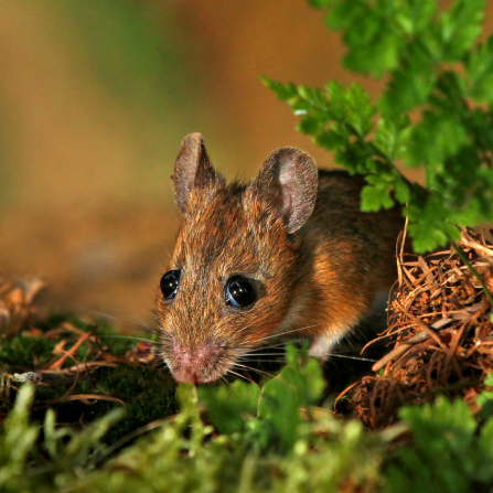 Wood Mouse by Jon Hawkins Surrey Hills Photography