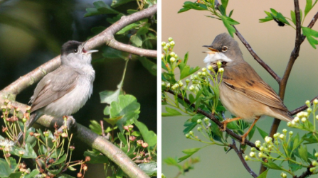 Blackcap and whitethroat