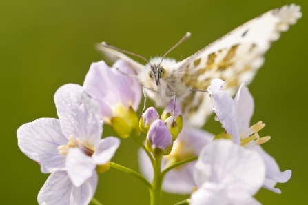 Orange tip and cuckooflower