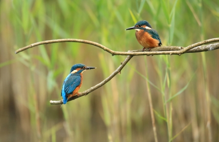 kingfishers on branch