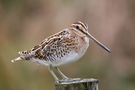 photo of a snipe