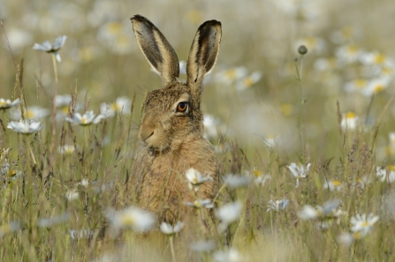 Hare in field of daisies