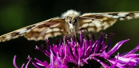 Marbled white on knapweed